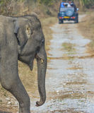 Słonia lasowego śladu skrzyżowanie obrazy royalty free
