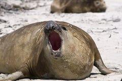 słonia leonina mirounga foka południowa Fotografia Stock