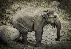 Słonia obsiadanie na głazie fotografia stock