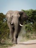 Słonia odprowadzenie w kierunku kamery w Kruger parku narodowym, Południowa Afryka Zdjęcie Stock