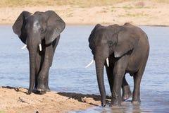 Słonia odprowadzenie w wodzie mieć napój i cool w dół na gorącym d Fotografia Royalty Free