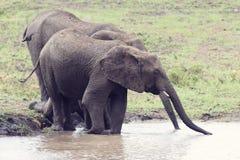 Słonia odprowadzenie w wodzie mieć napój i cool w dół na gorącym d Zdjęcia Royalty Free