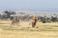 Słonia okurzanie w przebraniu Amboseli fotografia stock