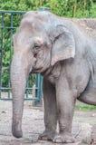 Słonia pachyderm zdjęcia stock