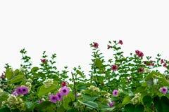 Słonia pełzacz, Srebne chwały rośliny purpury kwitnie na ro Zdjęcia Royalty Free