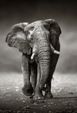 Słonia podejście od przodu obrazy stock