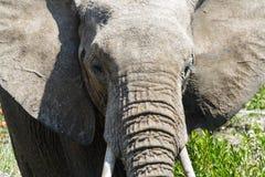 Słonia portret w górę zakończenia obraz stock