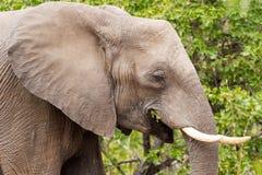 Słonia ` s Dostać Jeść Obraz Royalty Free