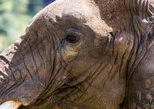 Słonia ` s głowa Zdjęcia Royalty Free