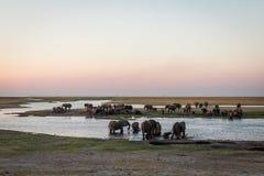 Słonia skrzyżowanie przy chobe rzeką obraz stock