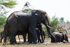 Słonia stada chłodniczy puszek po długiego spaceru zdjęcie royalty free