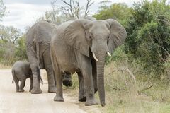 Słonia stado krzyżuje drogę gruntową zdjęcie stock