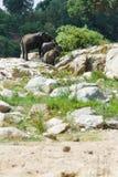 Słonia stado krzyżuje skalistego teren w suchym riverbed fotografia royalty free