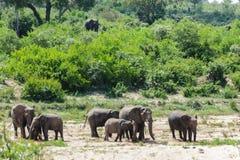 Słonia stado krzyżuje suchego rzecznego łóżko w parku obraz royalty free