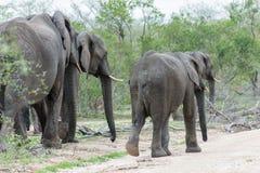 Słonia stado spaceruje przez krzaków w kierunku pył drogi w parku zdjęcie royalty free