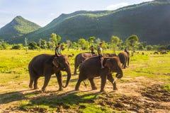 Słonia stado z jeźdzami Zdjęcia Royalty Free
