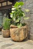 Słonia ucho roślina (Colocasia) Zdjęcie Royalty Free