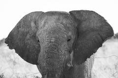 Słonia zakończenia portret Zdjęcia Stock