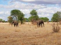 Słonia zakończenie na Tarangiri safari - Ngorongoro Obraz Stock