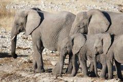 Słonie śliczni są Zdjęcie Royalty Free