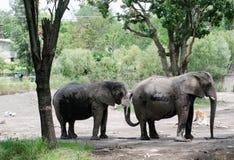 słonie Zdjęcie Stock