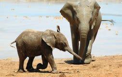słonie afrykańskie Obrazy Stock