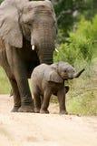 słonie afrykańskie Fotografia Stock