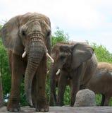 słonie afrykańskie Obrazy Royalty Free