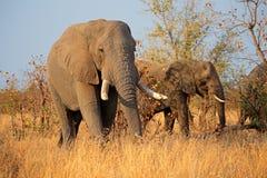 słonie afrykańskie byków Zdjęcie Stock