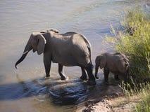 słonie afrykańskie krzaków Obrazy Royalty Free