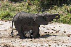słonie afrykańskie krzaków Zdjęcie Royalty Free