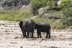 słonie afrykańskie krzaków Fotografia Royalty Free