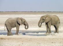 słonie afrykańskie krzaków Zdjęcia Stock