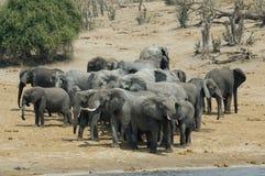 słonie afrykańskie krzaków Zdjęcia Royalty Free