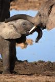 słonie bawić się potomstwa Fotografia Royalty Free