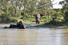 Słonie bawić się w podlewanie dziurze Zdjęcia Stock