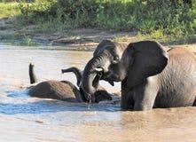 Słonie bawić się w podlewanie dziurze Obrazy Royalty Free