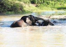 Słonie bawić się w podlewanie dziurze Fotografia Royalty Free