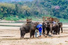 Słonie dla jechać podróżować w lesie, Tajlandia Obrazy Royalty Free