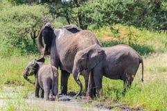Słonie dostaje odświeżający w Tarangire parku, Tanzania Zdjęcia Stock