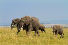 słonie grupują Mara masai Obrazy Royalty Free