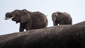 Słonie i kamień Obrazy Stock