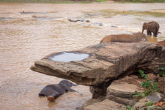 Słonie kąpać się w rzece Fotografia Royalty Free