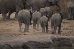 Słonie, Loxodonta Africana, dna wszystko z rzędu gdy ścigają się zdjęcie royalty free