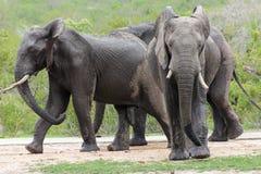 Słonie na przespacerowaniu obraz stock