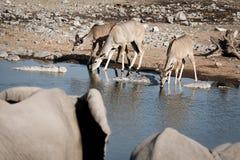 Słonie ogląda antylopy przy waterhole Zdjęcia Royalty Free