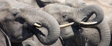 słonie pić Zdjęcia Royalty Free