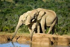 słonie pić Zdjęcia Stock