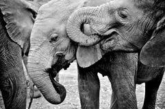 słonie pić Zdjęcie Royalty Free
