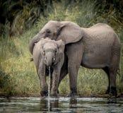 słonie pić Obrazy Royalty Free
